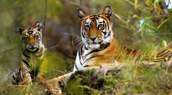 Spurt in Tiger population