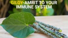 GILOY-Amrit to your immune system (1)